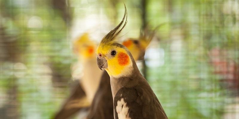 птичка с хохолком