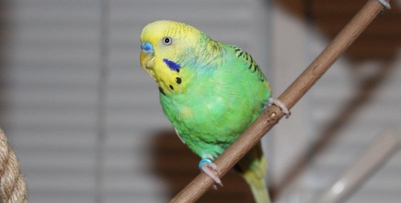 волнистый попугай на веточке
