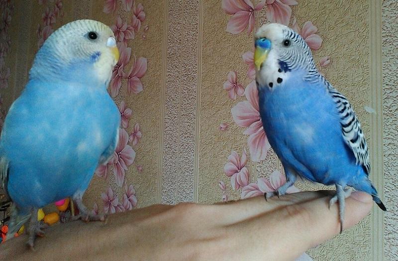 голубой окрас