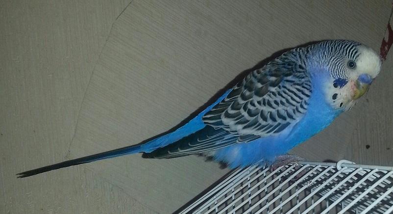 хвостик попугая